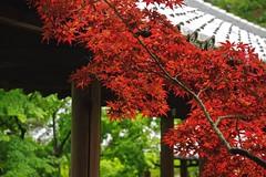Red or Green (tez-guitar) Tags: bridge summer macro green temple maple kyoto pentax corridor architect tamron pentaxart