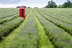 Mayfield lavender field with an oomph (soBeit creations - Photography) Tags: plants field lines landscape outdoors purple phonebooth lavender british phonebox endless blooming placeofinterest sobeitcreations