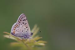 *** (Verlgof) Tags: macro nature butterfly plebejusargus