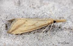 # 5319 – Donacaula longirostrallus – Long-beaked Donacaula Moth (Wildreturn) Tags: missouri moth mo mothsofmissouri mothsofmissourifieldguide mmfg moths lepidoptera usa columbia boonecounty insects insecta insect hodges5319 5319 donacaula donacaulalongirostrallus longbeakeddonacaulamoth crambidae crambidsnoutmoths