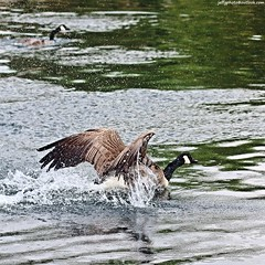 Canada Geese (Branta canadensis) (Jeff G Photography - jeffgphoto@outlook.com) Tags: lake water geese pond goose southpark waterfowl canadagoose brantacanadensis southparkilford