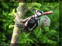 Unser momentaner Dauergast (Fotoamsel) Tags: deutschland tiere natur vgel garten goslar niedersachsen imgarten buntspecht