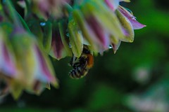 Monet's Garden Bumblebee (cathamm1) Tags: flowers nature animals