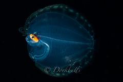 IMG_6542 (nealmoc) Tags: macro hawaii blackwater kona pelagic kailuakona underwaterphotography