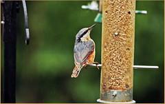 The Nuthatch (GABOLY) Tags: england birds garden feeding may 31st 2016