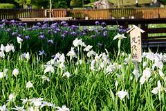 20Yamada Pond Park (anglo10) Tags: flower japan