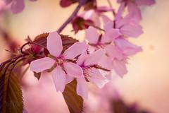Hanami (markoknuutila) Tags: flowers tree cherry hanami