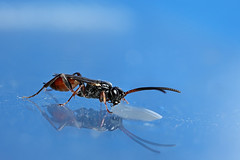 "Small Ichneumon wasp in the ""studio"" #1 (Lord V) Tags: macro bug insect wasp ichneumon"