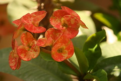 "Flowers of ""Crown of Thorns"" (ilovethirdplanet) Tags: pink india flower garden balcony delhi ind"