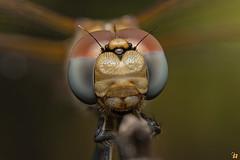 Violet Dropwing  (Rinaldo R) Tags: nature field canon insect dragonfly stack handheld bristles immature 25x libellula odonata libellulidae mpe compoundeyes zerene violetdropwing dragonlfy tritemisannulata