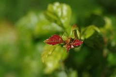 New Leafs (horschte68) Tags: leaf leafs nature forest red green bokeh light dof depthoffield tair11a135mm28 m42