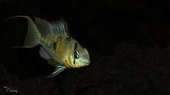 Microgeophagus altispinosa (Bolivian Ram) -7 (omardaing) Tags: fish animal pentax ram k10 bolivian hayvan balk