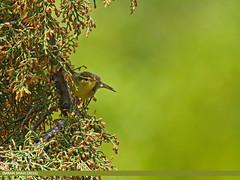 Tickell's Leaf Warbler (Phylloscopus affinis) (gilgit2) Tags: pakistan birds fauna canon geotagged wings wildlife feathers tags location species tamron category avifauna gilgit naltar gilgitbaltistan imranshah canoneos7dmarkii tamronsp150600mmf563divcusd tickellsleafwarblerphylloscopusaffinis gilgit2