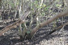SOP-040716-015 (alison.klein) Tags: wetlands mangroves sydneyolympicpark