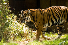 Sumatran Tiger (JLyn Nature Photography) Tags: tiger nationalzoo sumatrantiger smithsonianinstitute smithsonianzoo