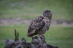 (Eurasian) Eagle Owl, Bubo bubo (Europesche Oehoe)-4 (Rudaki1959 thanks for looking) Tags: birds bird eye nature natural earthnaturelife canonef70200mmf28lisusm animal
