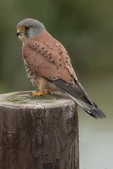 Kestrel (male) (Andrew_Leggett) Tags: kestrel falcotinnunculus male bird birdofprey spring andrewleggett profile