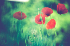 like a painting (Randgruppenknipse) Tags: flowers red flower green rot nature landscape outdoor availablelight sony blumen poppy poppies grn blume landschaft unscharf klatschmohn mohnblume likeapainting sonyalpha sonyalpha6000