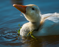 Playtime (Ingeborg Ruyken) Tags: water duck spring flickr ditch duckling may mei playtime waterdrops lente eend dropbox waterdruppels sloot 2016 natuurfotografie babyeendje 500pxs lentefilm16