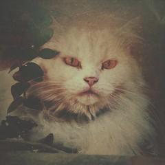 Branquela (rvcroffi) Tags: pet white plant cute planta cat fluffy gato gata whitecat branca peludo peluda gatobranco mextures