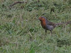 celui qui semblait couter quand je lui parlais (doubichlou) Tags: rouge gorge oiseau bird animal nature yonne bourgogne burgundy france avian photography