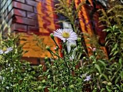 ([gegendasgrau]) Tags: city urban white flower detail verde green art nature colors yellow wall graffiti mural mood moody blossom bokeh natur atmosphere gelb brickwall vandalism buds feeling grün blume blüte weiss 2009 dortmund mauer farben flavour knospe ambiance südbahnhof lowpov atmo erigon berufkraut