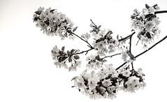 Sakura (Oscar.H) Tags: park bw white toronto canada black flower love nature highpark fuji sakura fujifilm