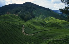 Cameron Highlands, tea plantation (blauepics) Tags: clouds garden landscape highlands tea wolken hills cameron malaysia plantation landschaft tee garten malay hgel hochland plantagen