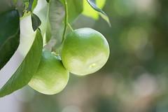 Baby Grapefruit (The Flying Inn) Tags: tree green fruit bokeh pennsylvania conservatory grapefruit citrus longwoodgardens kennettsquare