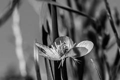 Lo sencillo (cmarga28) Tags: flores campestre luz sombras cerca naturaleza macro monochrome photography black white flowers belleza nikon foto digital raw d750