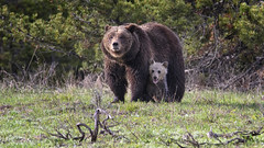 Grizzly and Cub (jrlarson67) Tags: bear brown cub nationalpark nikon grand grizzly teton coy sow d500 399