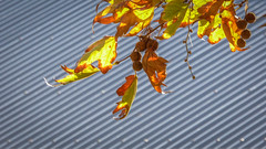 Blazing Plane Leaves (Theen ...) Tags: adelaide autumn backlighting blazing corrugated foliage gold green grey iron leaves light lumix orange roof seedballs seeds sun sunshine theen yellow