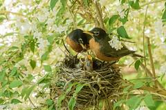 Flockin' Robins (rdroniuk) Tags: birds robin smallbirds chicks passerines americanrobin robinfamily robinhatchlings robinchicks turdusmigratorius oiseaux passereaux merle merledamrique familledesmerles