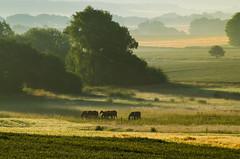 Pferde - Horses (Der Gnurz) Tags: horses horse landscape landschaft pferde pferd tier morgens morningmist inthemorning morgennebel
