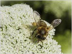 ABEJA (BLAMANTI) Tags: abejas insectos