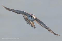 Peregrine Falcon (ian hufton photography) Tags: wild bird kent wildlife birdofprey peregrine peregrinefalcon ianhufton