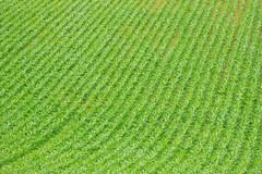 Undulation (MrHRdg) Tags: green field lines pattern wave farmland rows crop slope mapledurham