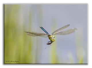 Moth for lunch - Dragonfly in flight with prey [Explored]
