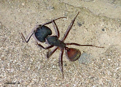 7 2016-06-29 19.41.17 (Pep Companyo - Barral) Tags: barcelona fauna hormigas natura catalunya insectes formiga bergueda josep formigues anmals puigreig hymenopters formiguer companyo barralo