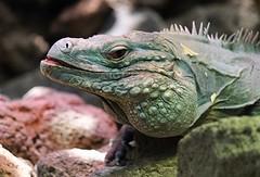 National Zoo ~ Green Iquana - HTT & HBW! (karma (Karen)) Tags: washingtondc nationalzoo reptilehouse iguanas dof bokeh texture htt hbw