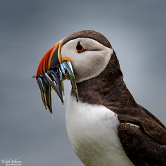 Puffin (wiganworryer) Tags: sea fish bird nature grass birds canon lens island photography prime photo sand rocks natural image outdoor eating picture keith cliffs inner full frame puffin l series fixed f56 puffins gibson farne eels 6d 400mm 2016 wiganworryer
