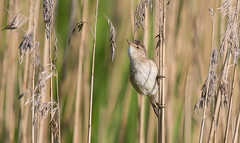 Reed warbler (The Rustic Frog) Tags: camera uk wild england bird reed nature digital canon lens eos is mark wildlife centre brandon 11 ii 7d trust marsh 100400mm warwickshire warbler midlands