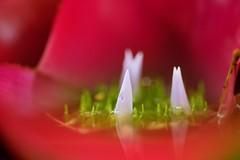 / Neoregelia cv. (nobuflickr) Tags: flower nature japan botanical kyoto  neoregelia  cv the garden  neoregeliacv awesomeblossoms   20160625dsc03573