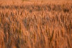 Quelques crales... (denis.fleurot) Tags: coucherdesoleil champdecrales plantation faibleprofondeurdechamp ocre crales agriculture nature crpuscule dieulouard meurtheetmoselle grandest orge barley cereals