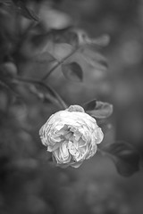 Everything's coming up roses [Explored} (judi may) Tags: blackandwhite flower monochrome leaves rose 50mm mono petals dof bokeh hertfordshire canon7d monochromebokehthursday