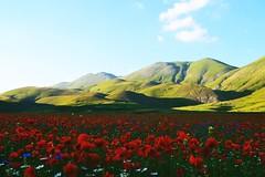 Red (amaPolasGreta) Tags: red rosso redflowers poppy amapolas papaveri hills castellucciodinorcia italy landscape nature