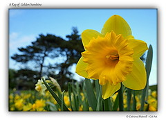 A Ray of Golden Sunshine (Cat-Art) Tags: ireland daffodils catart craigavon coarmagh catshatwell catrionashatwell doublevisionimages shatwellimages