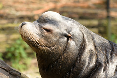 Daddy (sillie_R) Tags: zoo sealion rhenen ouwehandsdierenpark