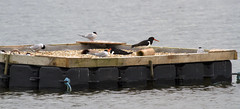 Nesting Pontoon with Oyster Catcher and Common Terns (dbrooker1) Tags: nest oystercatcher dungeness oyster catcher common tern rspb commontern rspbdungenessreserve