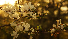 Magnolia (Lionne68 (France T)) Tags: fleurs magnolia flower blanc white nature sun soleil tree arbre parc goldenhour bokeh macro close up green explore printemps spring garden jardin campagne paysage sony ambiance ambience arbuste arriereplan atmosphere beautiful beauty beaut background biologie biology blanches blancheur branch branche calm calme closeup couleurs couchersoleil detente ecology